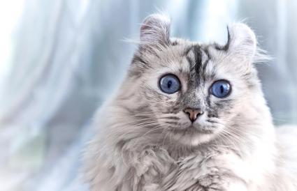 White American curl cat