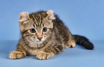 Breed cat American Curl