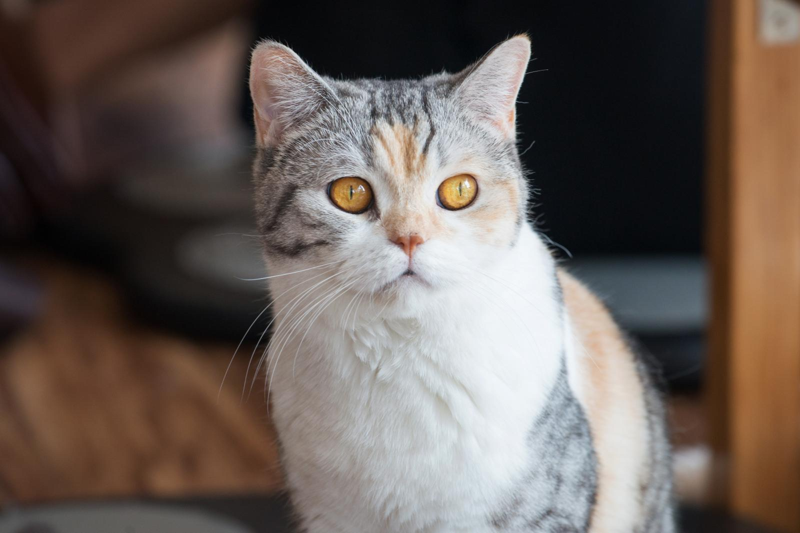 Portrait of American Wirehair cat