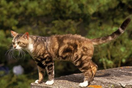 American Wirehair Domestic Cat