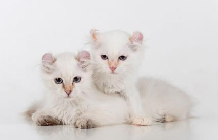 White American Curl Couple