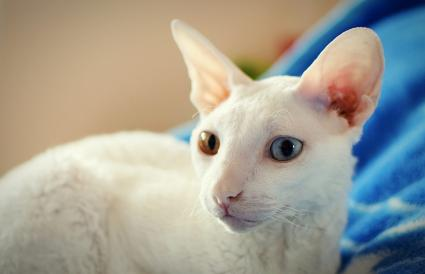 Cornish Rex At Home