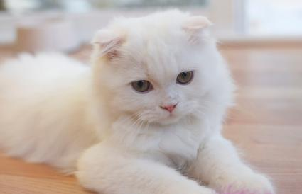 White Scottish Fold cat