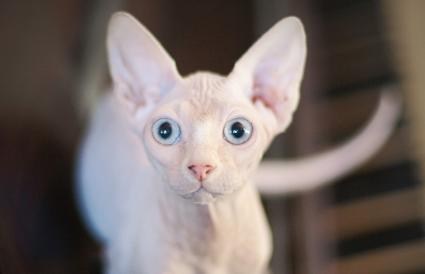 blue eyed mink sphinx cat