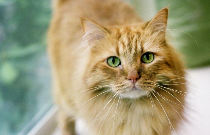Ginger Cat near window