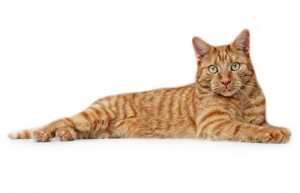 Portrait Of Ginger Cat Lying