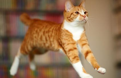 ginger cat jumping in mid air