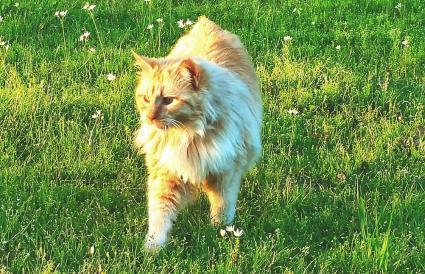 American Bobtail Cat Walking