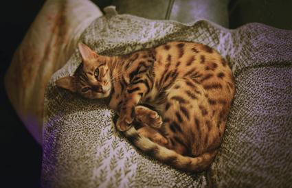 Bengal cat lying on a towel
