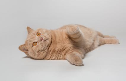 Ginger British Shorthair Cat
