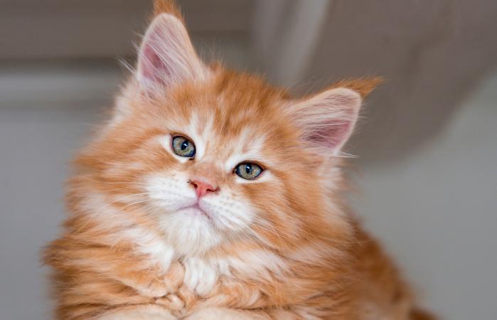 Cute ginger Maine coon kitten