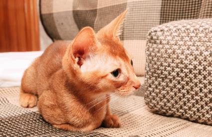 Abyssinian kitten lying on the sofa