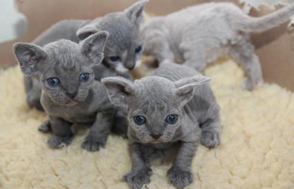 Litter Devon Rex kittens