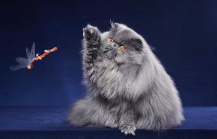 Gray Persian kitten