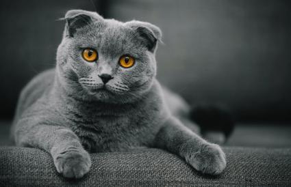 Scottish Fold Shorthair cat