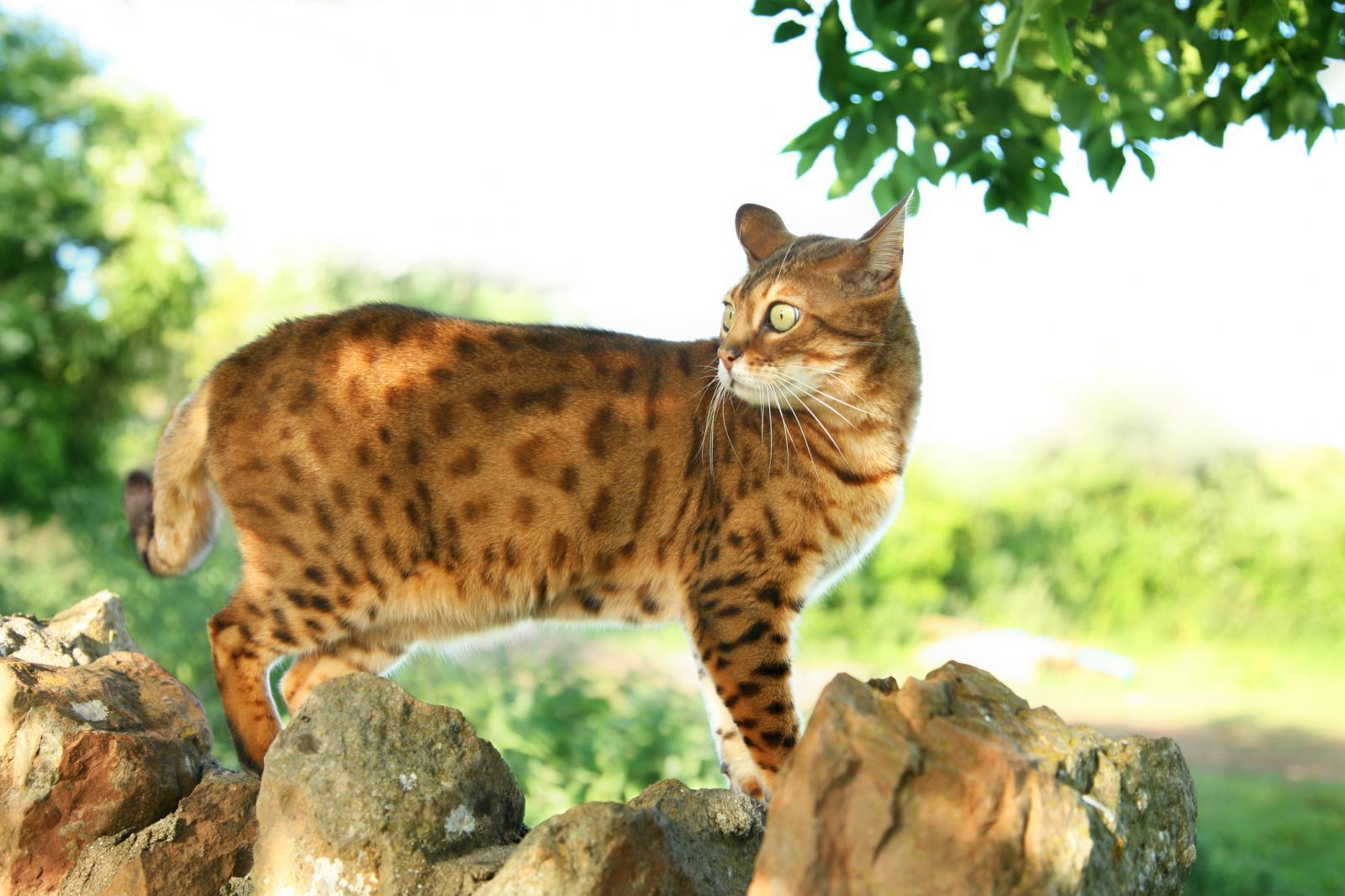Bengal cat walking along stone wall looking alert