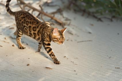 Bengal cat beach time