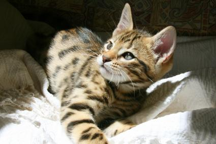 Brown Spotted pedigree Cheetoh kitten