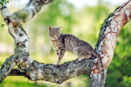 Serengeti cat on a tree