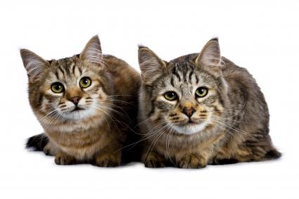 Two Pixie Bob cat kittens