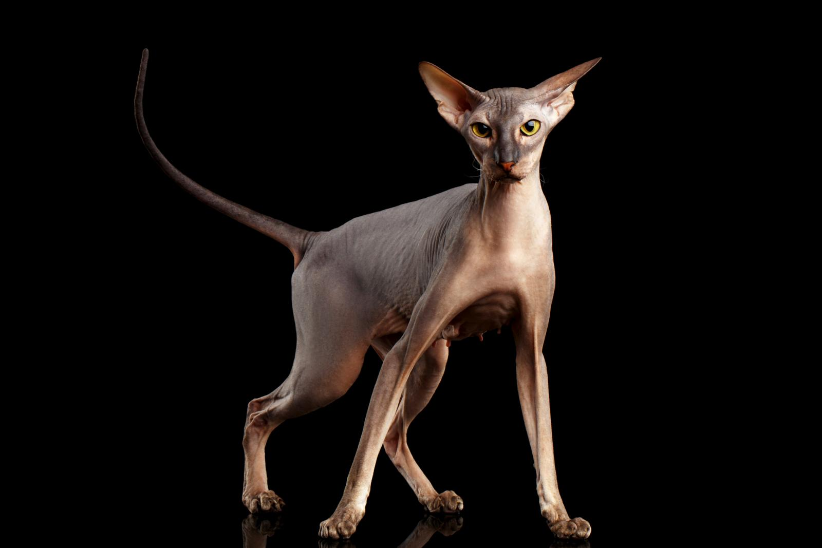 Peterbald hairless cat