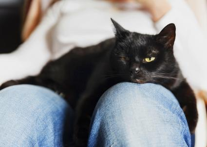 Black cat relaxing on lap of woman