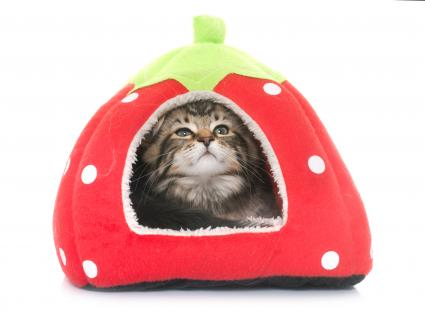 Kitten in tent style cat bed
