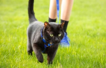 Cat Being Walked on Leash