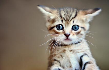 A little tabby kitten
