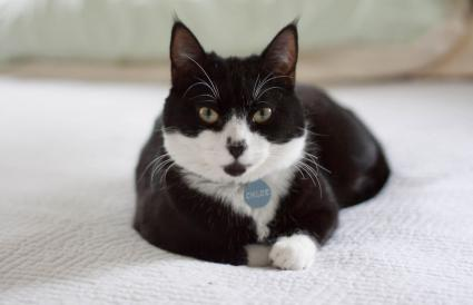 Tuxedo cat sitting on bed