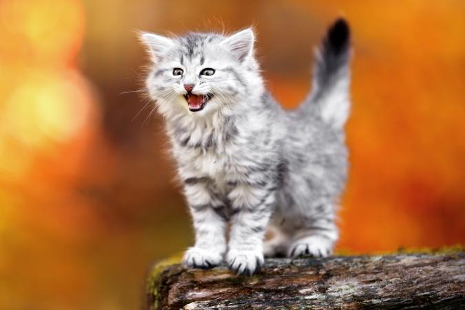 Meowing kitten in autumn