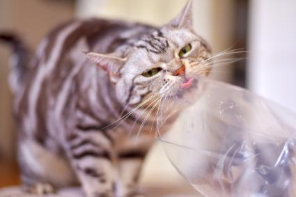 Funny face cat licking plastic