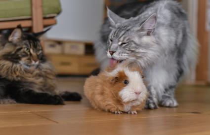 Cat licking guinea pig