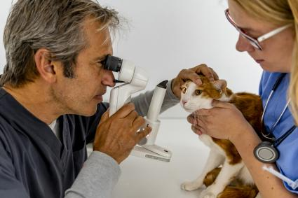 Vet examining a cat's eyes