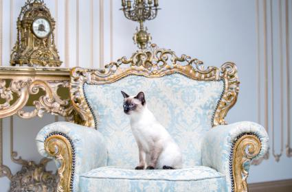 Cat Mekongsky Bobtail sits in a royal armchair