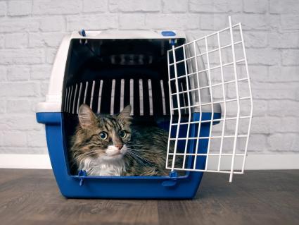 Cat in open pet carrier