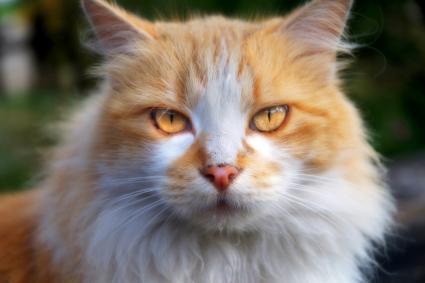 Norwegian orange cat