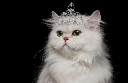White Persian Cat wearing tiara