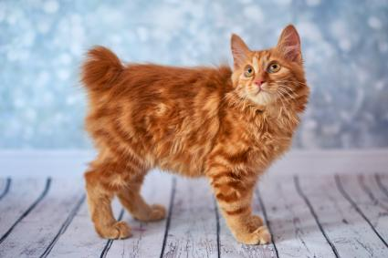 Funny Red Bobtail Cat
