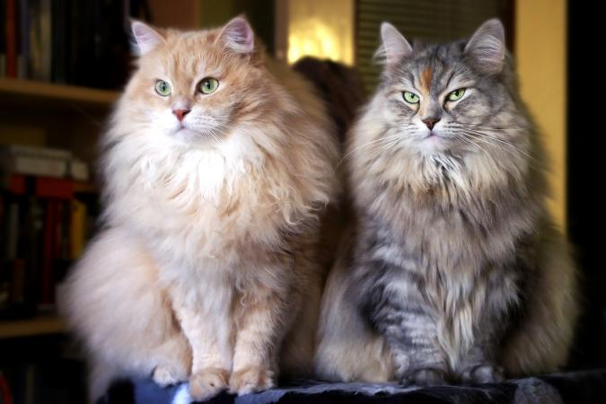 Two Siberian Cats at Home