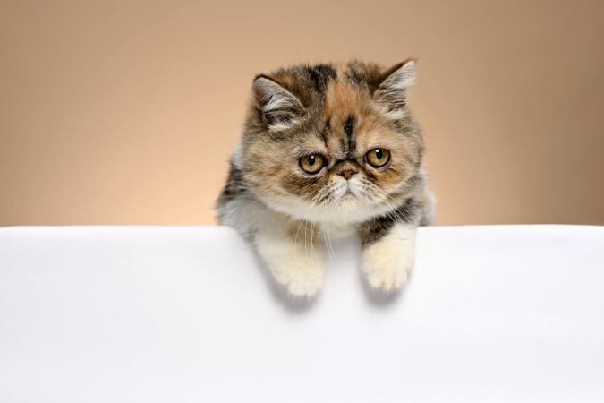 Beautiful Exotic Shorthair Kitten leaning on a sofa