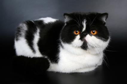 Laying Exotic black and white cat with amber yellow eyes