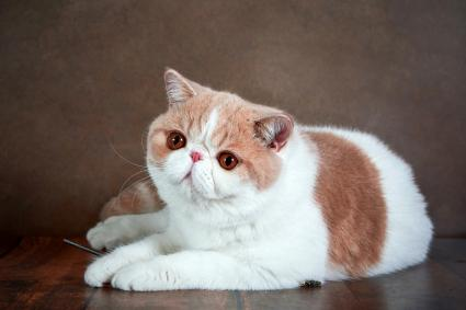 A beautiful exotic Shorthair cat lies on the brown background