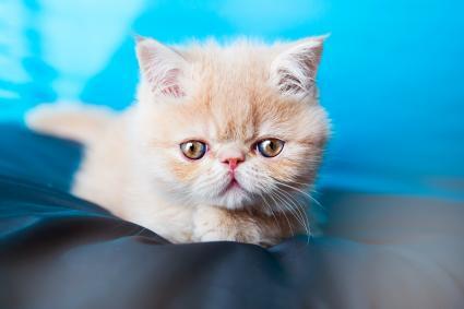 Exotic kitten with big eyes