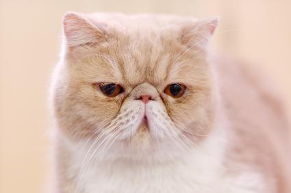 Cream-white exotic shorthair cat