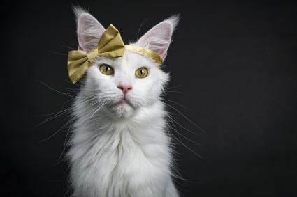 White Maine Coon girl cat wearing golden bow