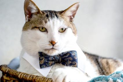 Cat wearing Bowtie shirt and silk bowtie