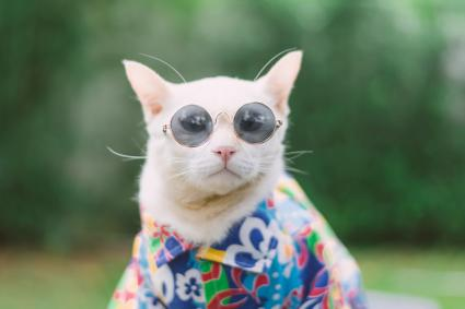 Cat Wearing Sunglasses and fashionable ware