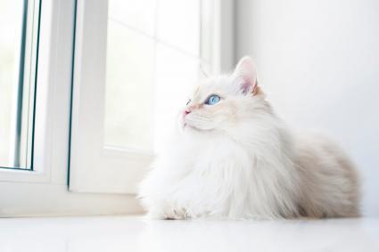 White cat lying down