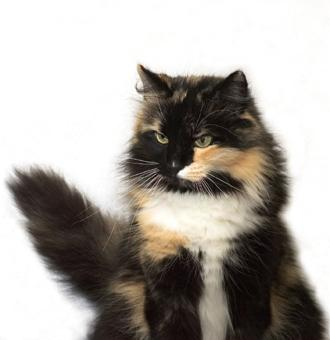 Fluffy Long Haired Tortie Cat